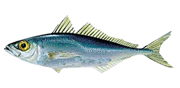 HORSE-MACKEREL